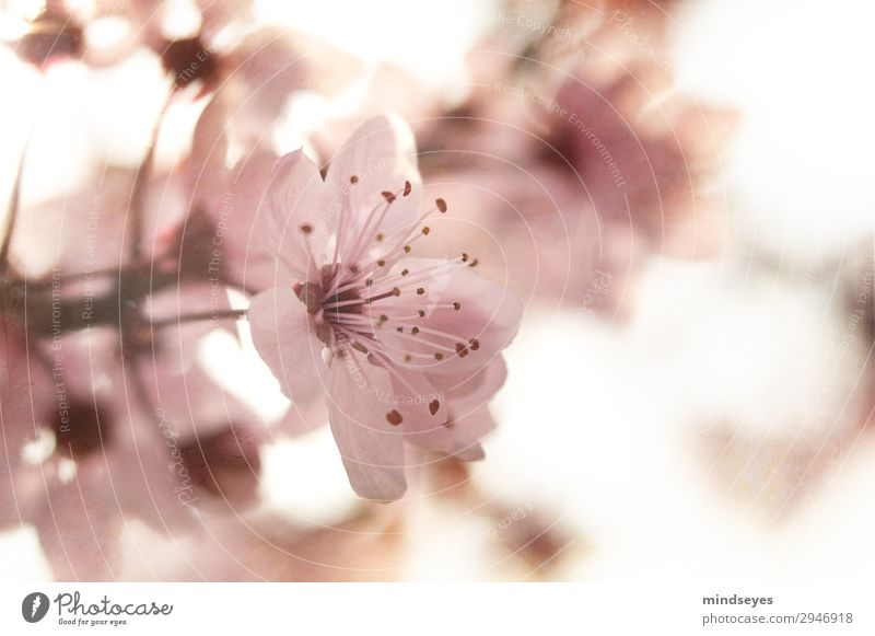 Cherry blossom against the light Nature Plant Spring Blossoming Growth Esthetic Fragrance Fresh Natural Pink Spring fever Hope Ease Environment Colour photo