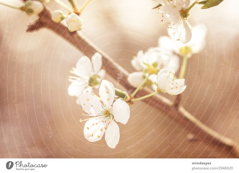 Cherry blossoms on twig Nature Plant Spring Twigs and branches Blossoming Growth Natural Beautiful Brown White Spring fever Life Dream Colour photo Close-up