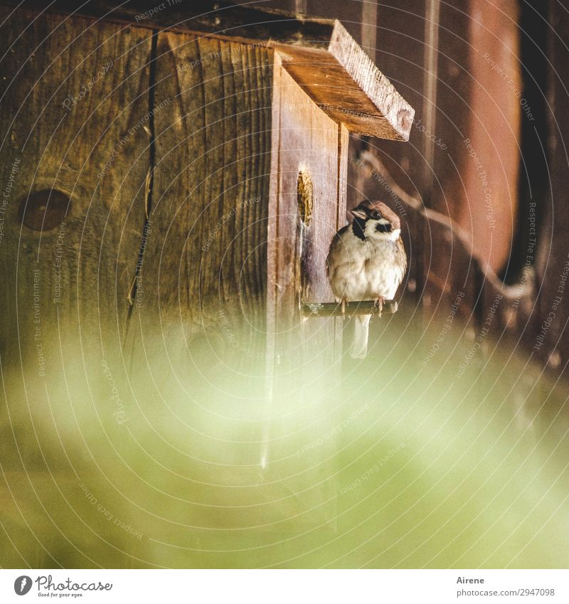 Quiet in there! Birdhouse Nesting box Wooden house Wooden hut Animal Sparrow 1 Observe Sit Living or residing Simple Brash Friendliness Natural Curiosity Brown