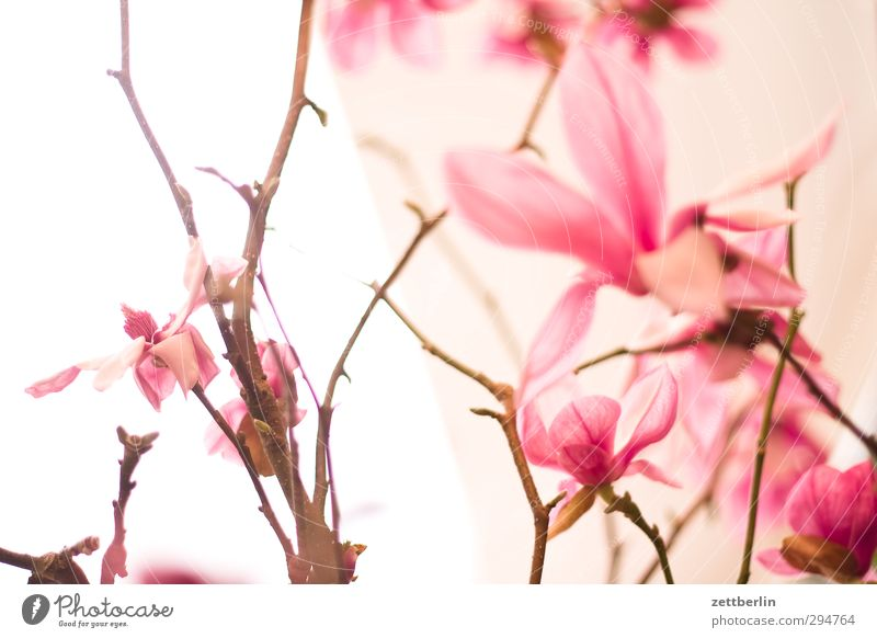 spring Environment Nature Plant Spring Beautiful weather Flower Orchid Blossom Exotic Garden Bouquet Growth Good Magnolia plants Ostrich Vase wallroth Twig