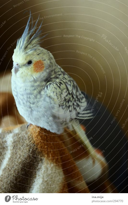 little darling Animal Pet Bird Wing 1 Observe Relaxation Sit Small Brown Yellow Gold Gray Orange Contentment Environment cockatiel Parakeet Budgerigar