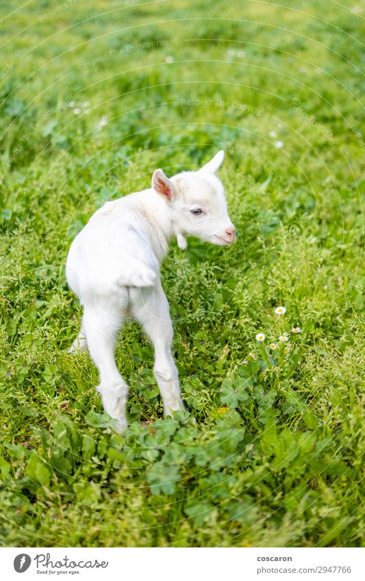 Portrait of a little goat on the grass Child Vacation & Travel Nature Summer Beautiful Green White Flower Relaxation Animal Joy Baby animal Spring Funny Meadow
