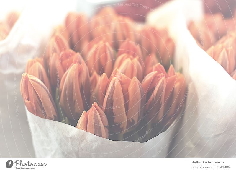 Tulips Party Flower Blossom Bouquet Blossoming Natural Orange Red White Spring fever Infatuation Romance Beautiful Grief Lovesickness Longing Esthetic Colour