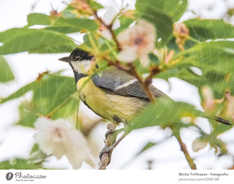 Great tit between blossoms and leaves Nature Plant Animal Sunlight Beautiful weather Tree Leaf Blossom Wild animal Bird Animal face Wing Claw Tit mouse Beak