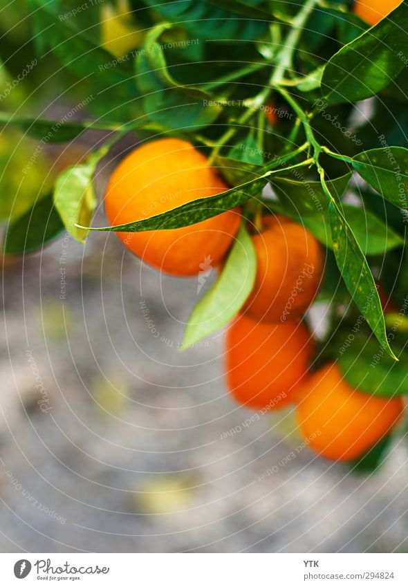 orange tree Environment Nature Plant Earth Summer Beautiful weather Tree Leaf Foliage plant Agricultural crop Exotic Garden Park Field Hang Growth Orange tree
