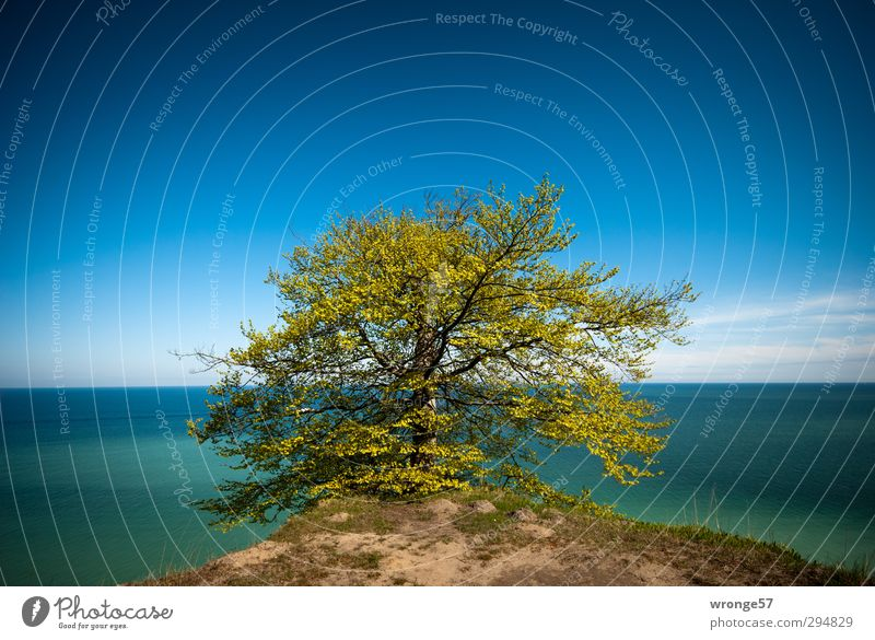 Tree at the cliff II Nature Landscape Plant Sky Cloudless sky Horizon Spring Beautiful weather Coast Baltic Sea Island Rügen Kreidefelsen Germany Blue Green