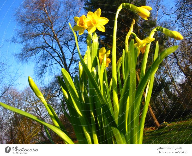 Sun Flower Spring Blue sky April Narcissus Lily of the valley Wild daffodil