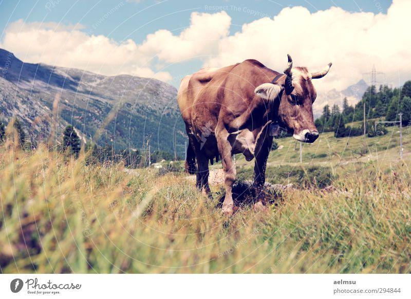 Nature Vacation & Travel Summer Animal Calm Mountain Hiking Tourism Trip Alps Summer vacation Switzerland Cow Farm animal Engadine Bernina Mountains
