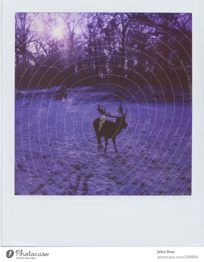 photographic deer-hunt Adventure Sun Sunlight Snow Park Forest Wild Nature Change Antlers Sunbeam Retro To feed Foraging Snowscape Wild animal Roe deer Bambi