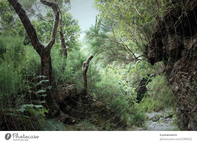 wonder forest Environment Nature Landscape Plant Wild plant Forest Exceptional Natural Beautiful Green Exotic Mysterious Idyll Life Dream Growth Madeira