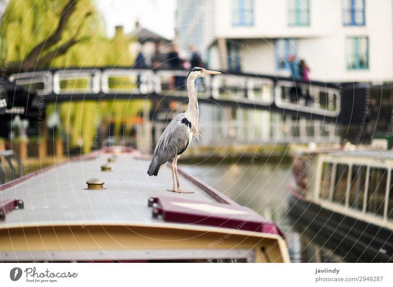 Heron or ardea cinerea in Little Venice, Camden town Vacation & Travel Town Animal Autumn Small Tourism Bird Watercraft Wild Europe Feather Bridge River