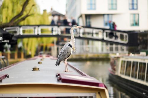 Heron or ardea cinerea in Little Venice, Camden town Vacation & Travel Tourism Sightseeing Animal Autumn River Town Bridge Watercraft Bird Small Wild