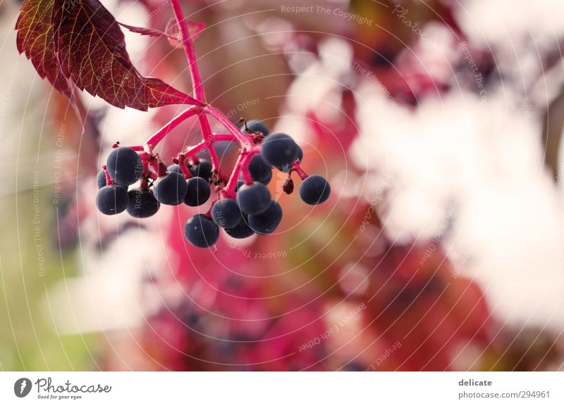 berries Nature Spring Summer Autumn Plant Leaf Garden Beautiful Round Blue Green Pink Red White Blur Rawanberry Berries Shallow depth of field Colour photo