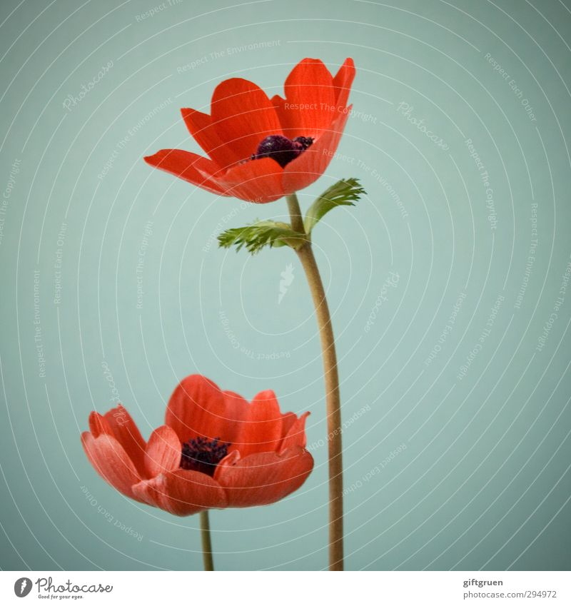 ...no spring skips its turn Nature Plant Spring Flower Leaf Blossom Blossoming Poppy Flowering plant Blossom leave Stalk 2 In pairs Red Corn poppy Spring flower