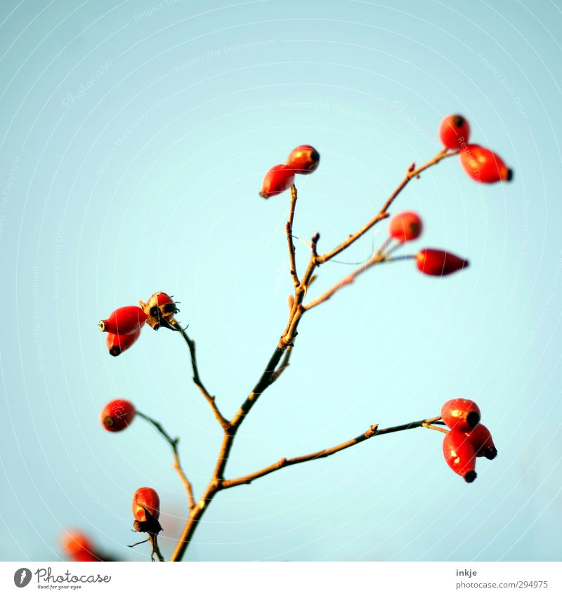 Colour ! Sky Cloudless sky Autumn Plant Wild plant Rose hip Twig Fruit Fat Thin Fresh Healthy Long Blue Red Nature Growth Maturing time Mature Bleak