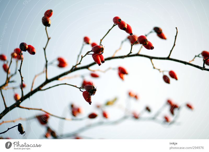 Colour ! Autumn Bushes Wild plant Rose hip Twig Growth Fat Thin Long Natural Red Nature Fruit Seed head Bleak Branched Arch Colour photo Exterior shot Close-up