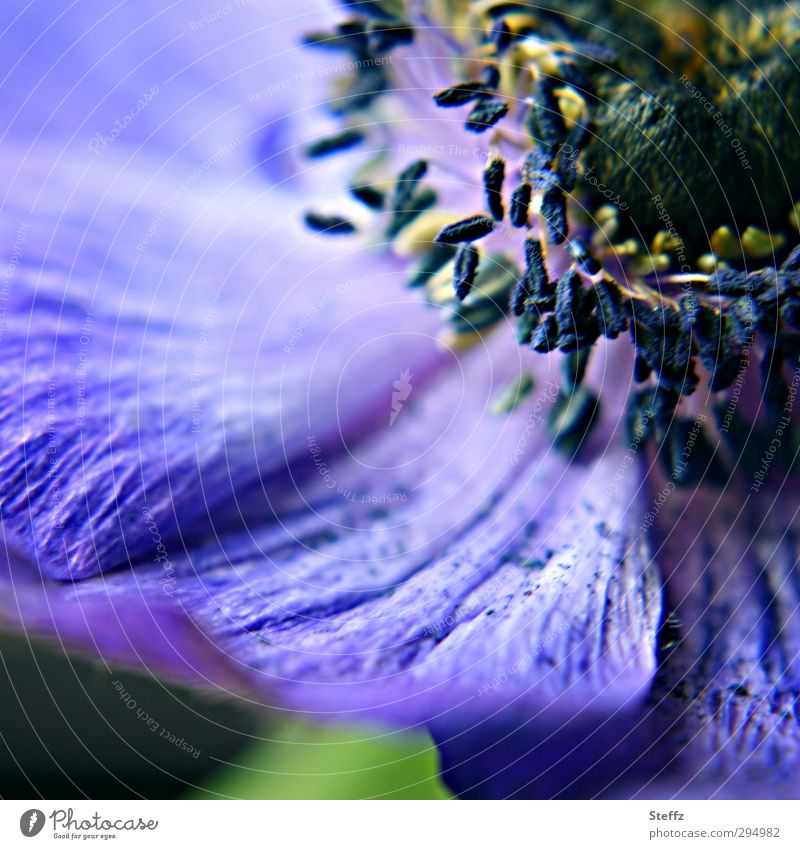 blue-violet anemone Anemone differently Exceptional petals romantic flowering anemone Blossom leave Spring flower Flower Blossoming Near Blue Violet