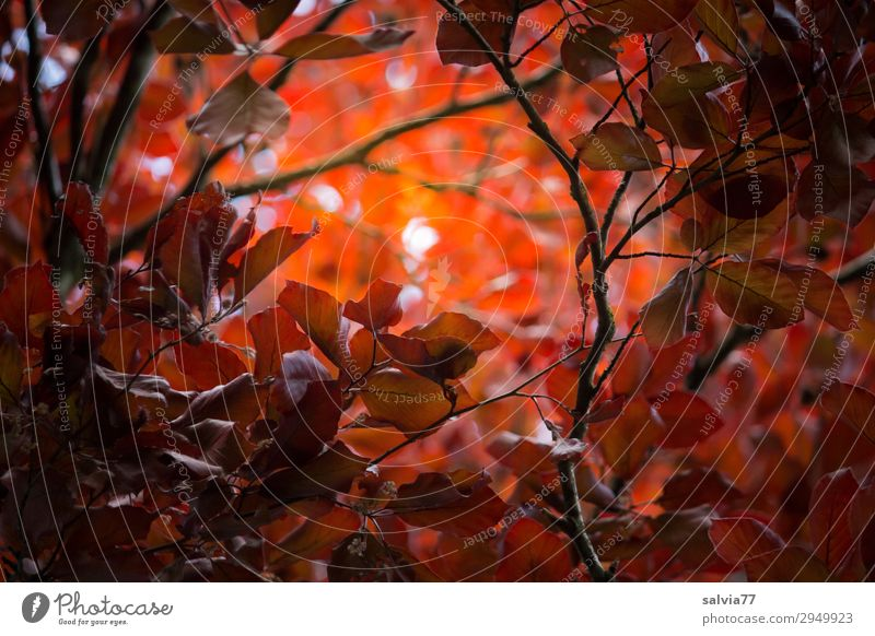 ray of hope Environment Nature Plant Autumn Tree Bushes Leaf Twigs and branches Beech tree Autumnal colours copper beech Park Forest Protection Hope Belief