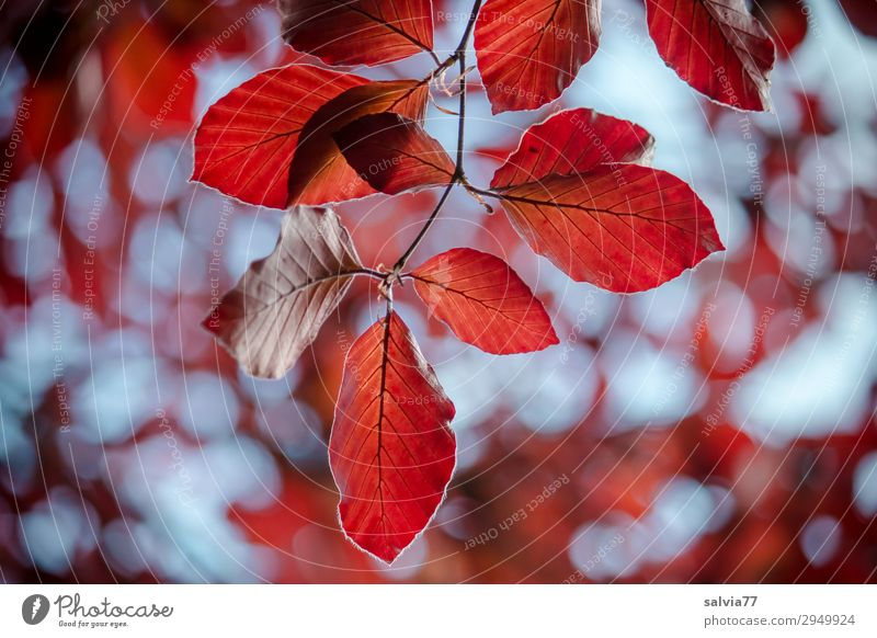 Airy leaves in the wind Environment Autumn Plant Tree Leaf Twig Beech tree Autumnal colours Park Forest Movement Transience Change Colour photo Exterior shot