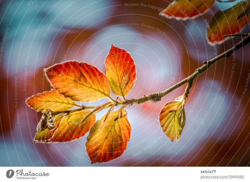Luminous leaves Environment Nature Plant Sky Autumn Climate Tree Leaf Beech tree Beech leaf Twigs and branches Park Forest Illuminate Growth Change