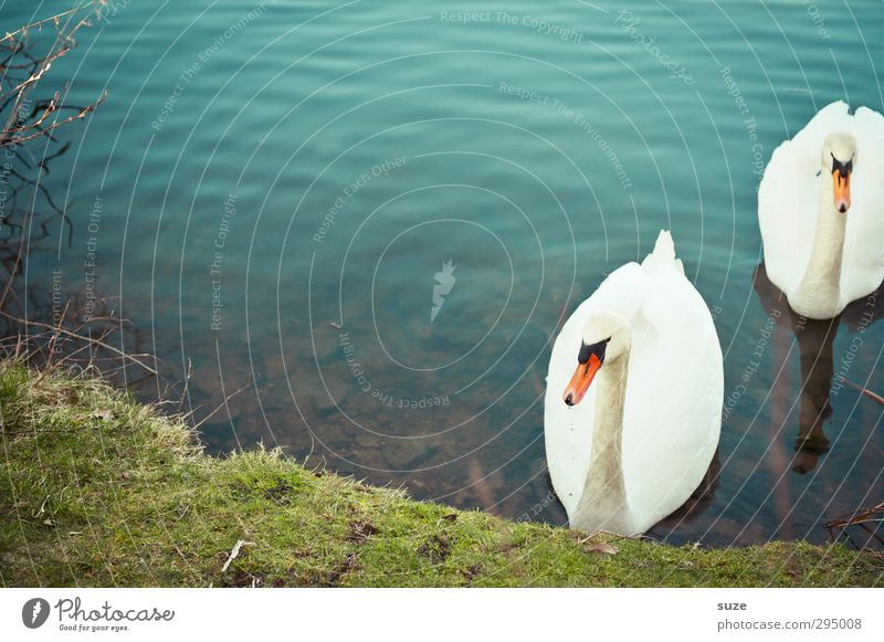 homecoming Beautiful Environment Nature Animal Water Grass Meadow Lakeside Wild animal Bird Swan 2 Pair of animals Rutting season Observe Esthetic Blue Green