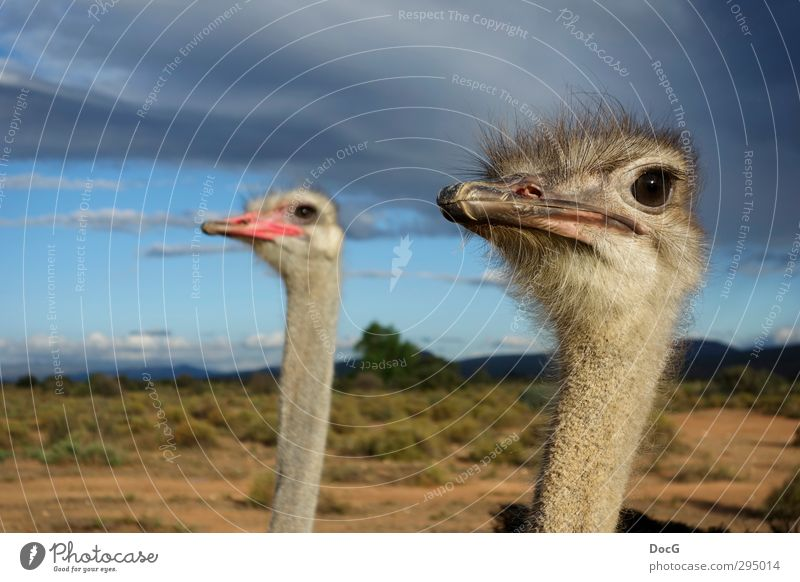 Ostrich - couple watching sky - female focussed Nature Animal Sky Clouds Storm clouds Summer Bird Observe Threat Together Large Curiosity Gray Loyalty masculine