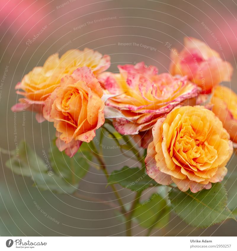 Orange Roses - Flowers Elegant Beautiful Wellness Life Harmonious Well-being Contentment Senses Relaxation Calm Meditation Spa Wallpaper Feasts & Celebrations