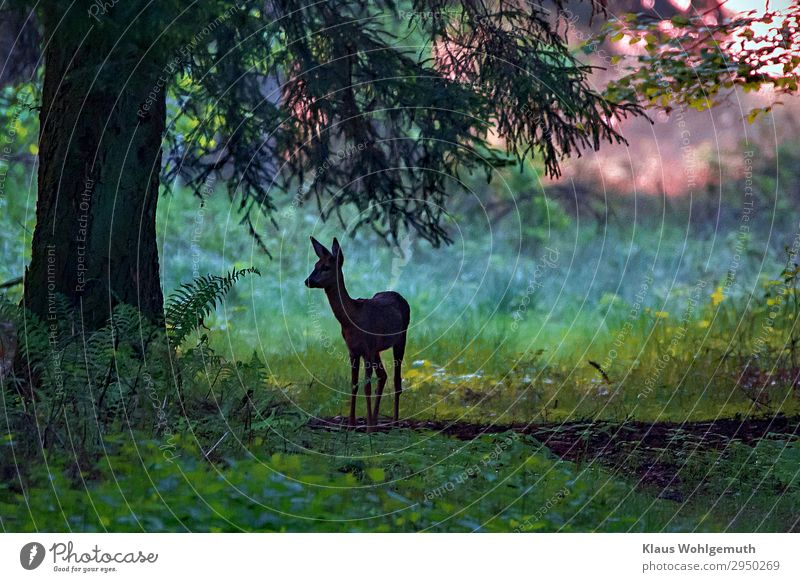 at dawn Environment Nature Summer Autumn Tree Fern Forest Wild animal Animal face Pelt Roe deer 1 Observe Stand Esthetic Blue Gray Green Peace Calm Hunting