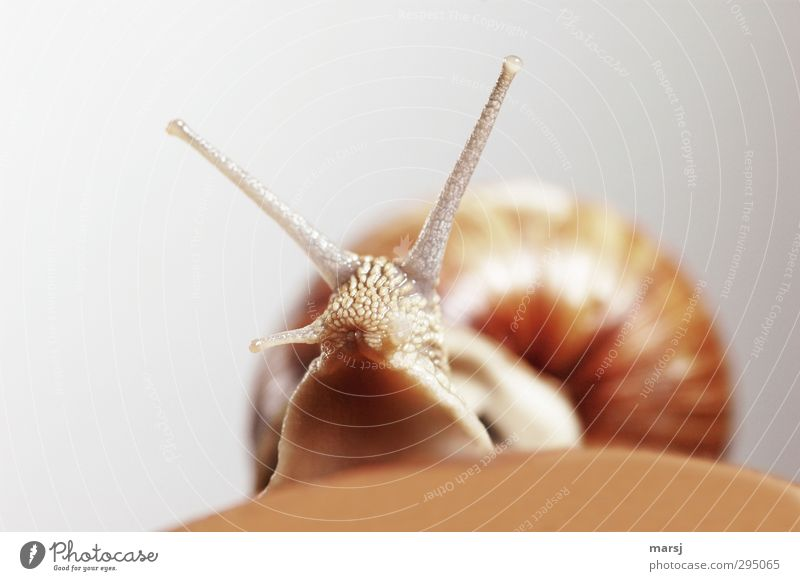 Don't look at me like that! Animal Wild animal Snail Vineyard snail 1 Observe Movement Looking Curiosity Cute Slimy Brown Colour photo Subdued colour Close-up