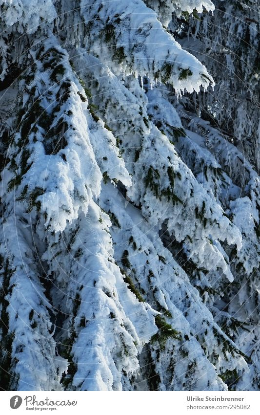 Nature Green White Plant Tree Winter Forest Environment Cold Snow Natural Ice Climate Beautiful weather Wet Frost