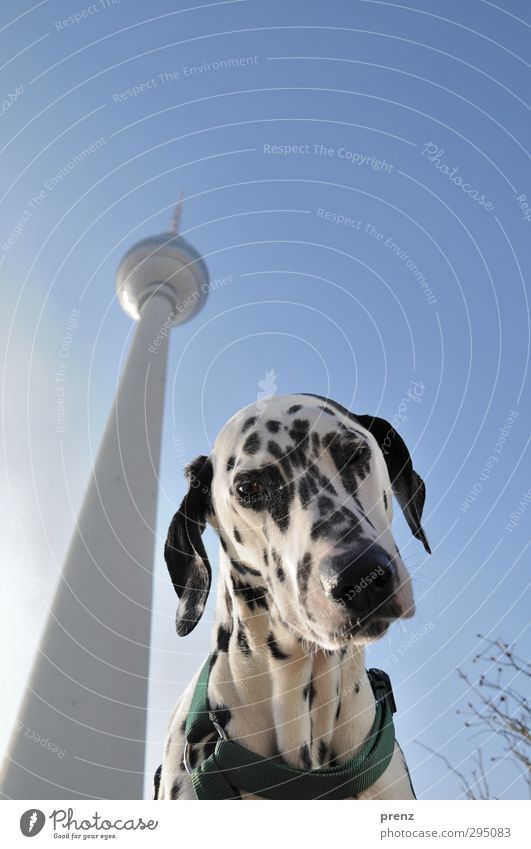 best friend Capital city Downtown Tower Manmade structures Pet Dog 1 Animal Blue White Dalmatian Purebred dog Television tower Berlin TV Tower Colour photo