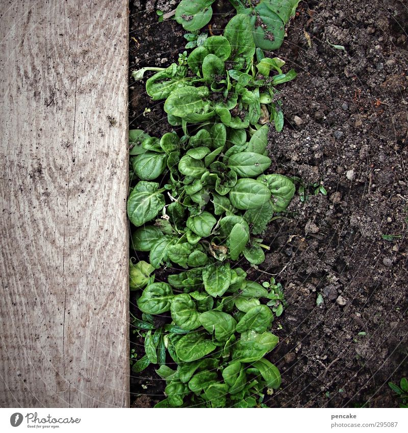 energiser Food Vegetable Lettuce Salad Nature Plant Earth Spring Ice Frost Leaf Garden Field Wood Energy Experience Success Contentment Spinach Wooden board