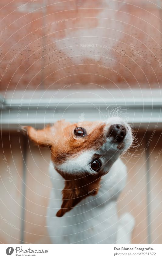 cute small dog sitting by the window. Rainy day Lifestyle Beautiful Winter House (Residential Structure) Room Animal Drops of water Clouds Storm clouds Spring