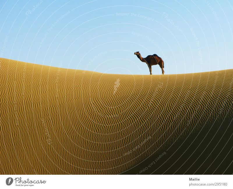 desert beauty Nature Sky Horizon Warmth Drought Desert Animal Camel 1 Dream Wait Free Wild Loneliness Pride Freedom Calm Infinity Far-off places Colour photo