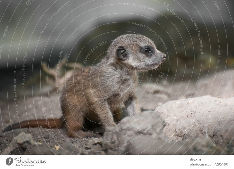 cute Animal Wild animal Claw Zoo Meerkat 1 Baby animal Looking Sit Wait Brash Cuddly Small Cute Nature Exterior shot Deserted Day Shallow depth of field
