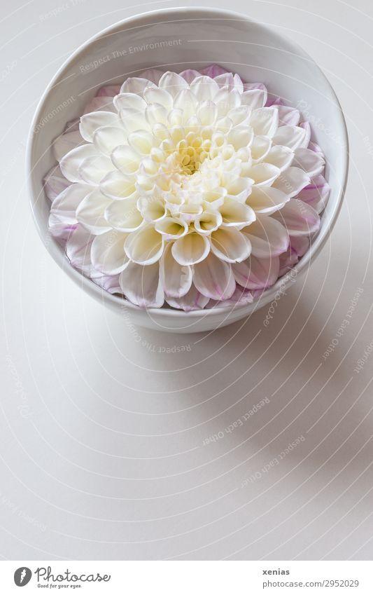 Dahlia flower in bowl Bowl Summer Autumn Blossom Round Yellow Pink White Colour photo Studio shot Deserted Copy Space bottom