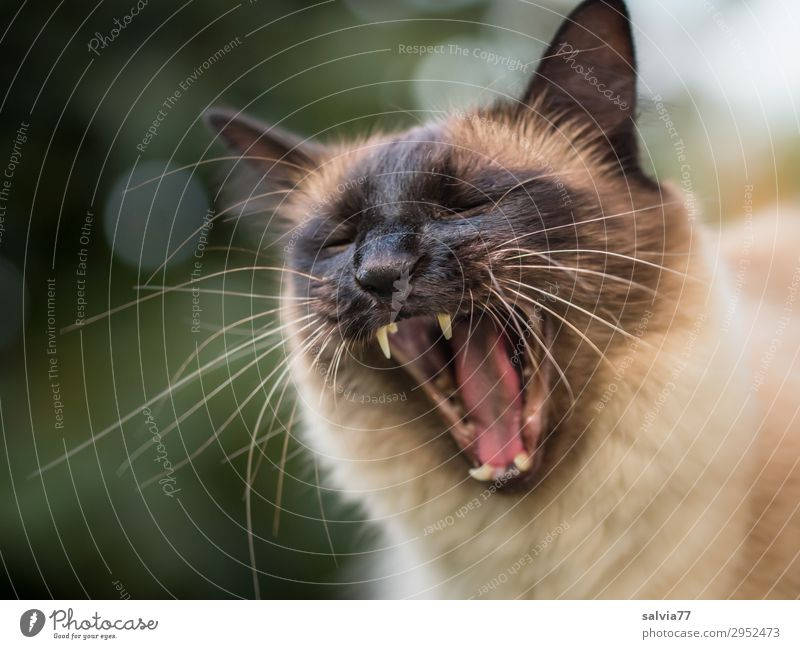 would-be lion Environment Nature Animal Pet Cat Animal face Domestic cat Thailand Teeth Set of teeth 1 Threat Wild Aggression Yawn Snarl Colour photo