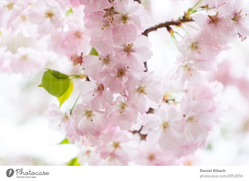 Blossom of a cherry tree. Nature Plant Tree Cherry tree Soft Pink April Background picture bloom natural Cherry blossom close garden blossoming petal tenderness
