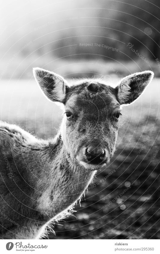 glowing deer iii Sunrise Sunset Sunlight Spring Autumn Beautiful weather Meadow Roe deer 1 Animal Observe Looking Wait Power Acceptance Trust Watchfulness