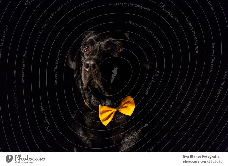 Beautiful black labrador with bow tie over black background Lifestyle Elegant Joy Leisure and hobbies Summer Friendship Adults Animal Bow tie Pet Dog 1 Observe