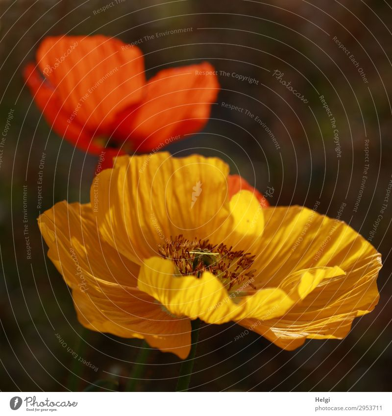 yellow and red blooming poppy blossoms against a dark background Environment Nature Plant Spring Beautiful weather Flower Blossom Iceland poppy Poppy blossom