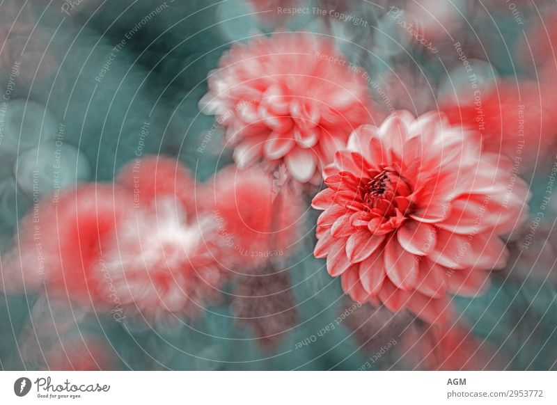 dahlia bed Elegant Summer Nature Plant Beautiful weather Wind Flower Blossom Garden Park Movement Blossoming Esthetic Pink Red Euphoria Romance
