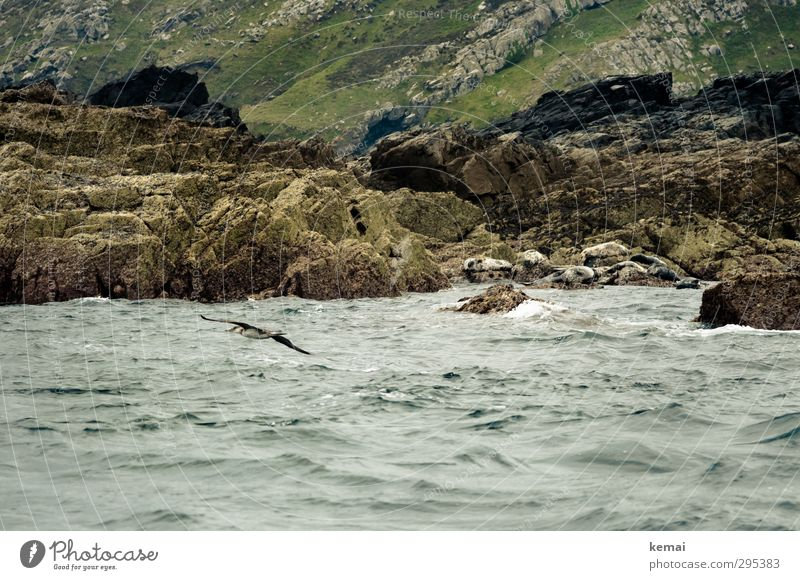 Rocky shore Environment Nature Landscape Water Summer Bad weather Hill Waves Coast Ocean Island England Wild animal Bird Harbour seal 1 Animal Group of animals