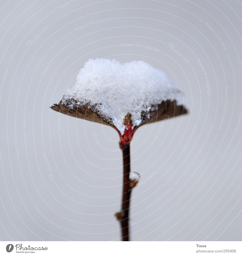 White Plant Red Leaf Winter Cold Snow Spring Gray Brown Simple Seasons Climate change Wild plant