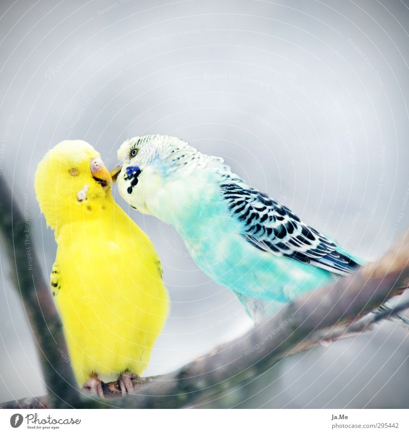 Sky Blue Animal Yellow Environment Love Gray Happy Bird Together Pair of animals Wing Friendliness Kissing Pet Flock
