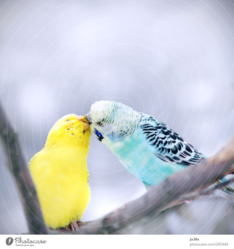 Blue Animal Yellow Environment Love Emotions Gray Happy Bird Together Pair of animals Wild animal Wing Animal face Kissing Infatuation