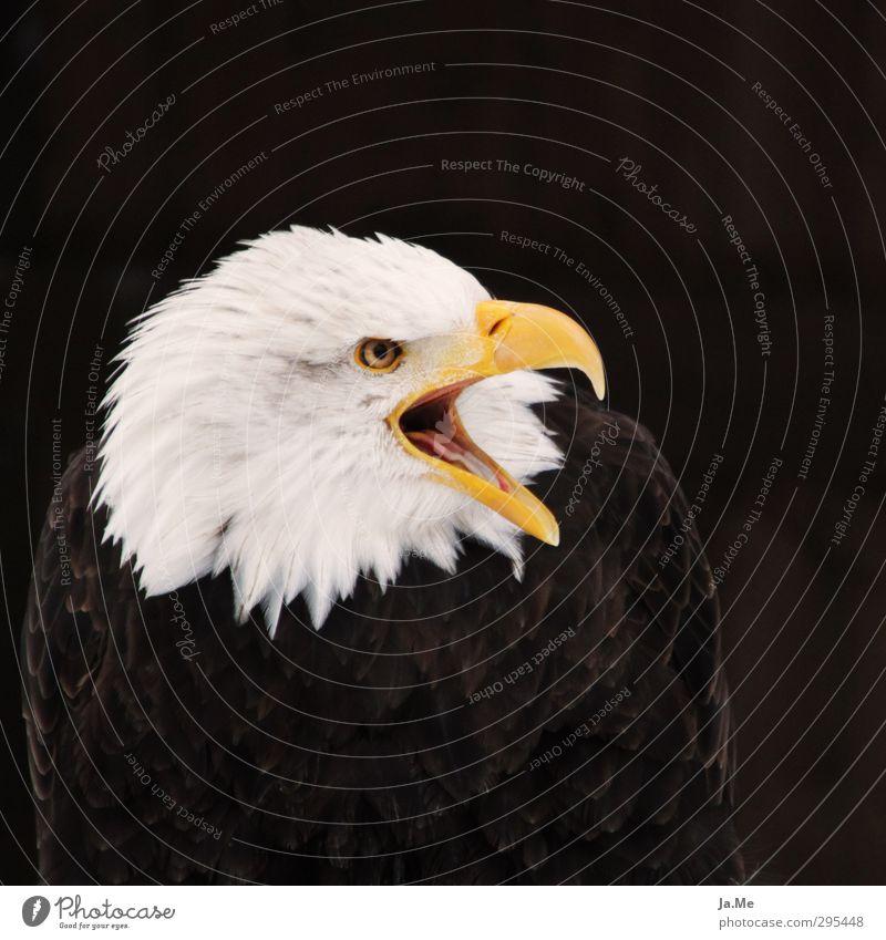White Animal Yellow Brown Bird Wild animal Wing Might Animal face Scream Beak Willpower Eagle Bird of prey Bald eagle