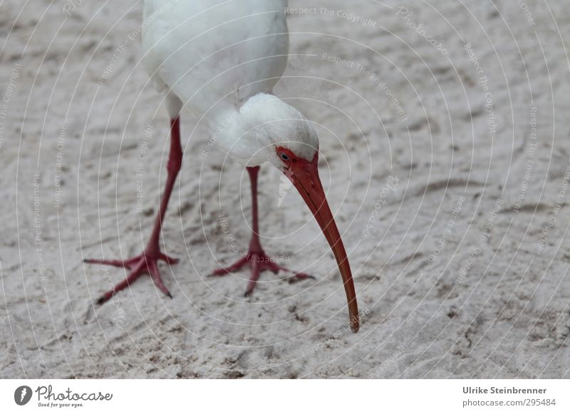 Snowy Ibis Animal Spring Beach Wild animal Bird 1 Touch To feed Stand Exotic Long Natural Curiosity Thin Point Gray Red White Beak Legs Search scratch Florida