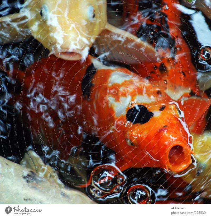 Gasping for air Environment Nature Animal Elements Water Pond Lake Fish Scales Bright Wet Natural Koi Carp Colour photo Multicoloured Exterior shot Close-up