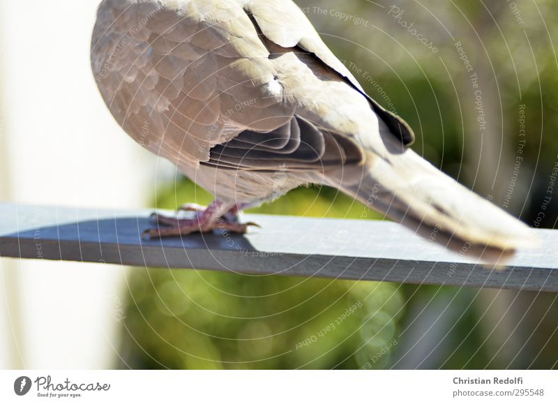 dove Nature Animal Wild animal Bird Pigeon 1 Feeding Wing Poultry Feather Balcony motif Claw Gray Colour photo Exterior shot Copy Space bottom Day Sunlight